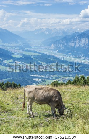Cow grazing at Mountain and ski area of Patscherkofel in Tyrol region, south of Innsbruck in western Austria.