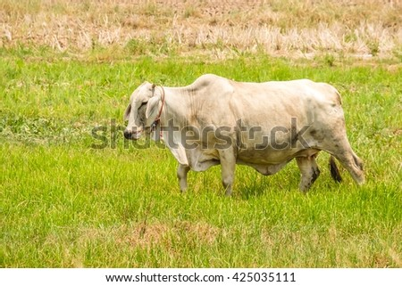 cow grazing at summer field