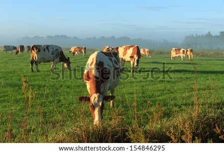 Cow grazing in a foggy meadow in Holland. - stock photo
