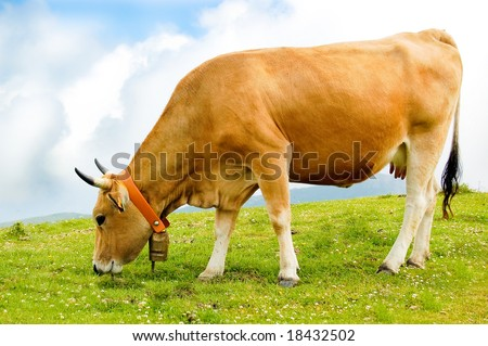 Cow grazing in a green field. - stock photo