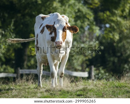 Cow grazing in a meadow - stock photo