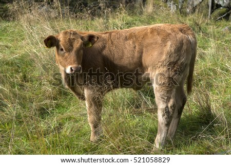 cow grazing in a meadow in Norway