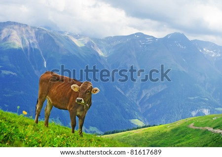 Cow grazing in an Alpine meadow in Switzerland - stock photo