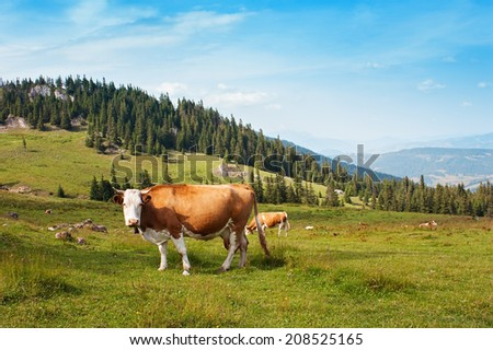 Cow grazing in the field - stock photo