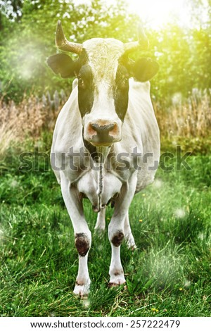 Cow grazing in the meadow. - stock photo