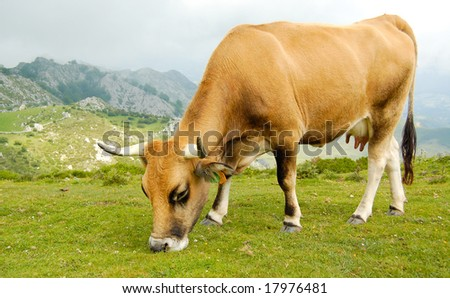 Cow grazing in the mountains. - stock photo