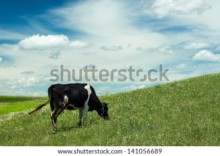 Cow grazing on a green summer meadow at sunny day