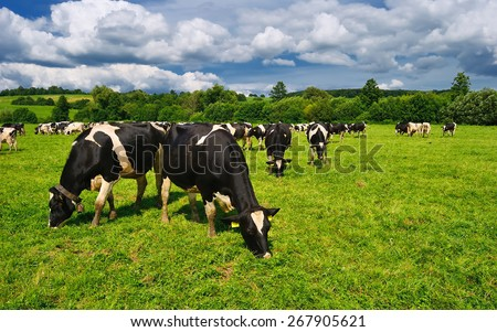 Cow grazing on a green summer meadow in Hungary - stock photo