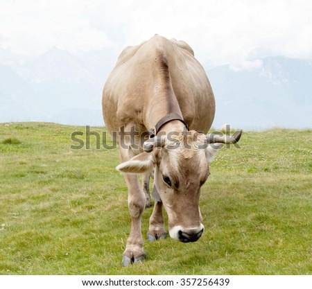 Cow grazing on alpine meadow Switzerland. Swiss cow. Cow grazing. Red cow. Swiss cow. The cow eats a grass. Cow. Beautiful cow - stock photo
