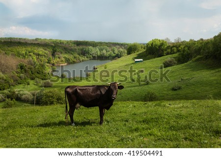 cow grazing on beautiful green hills and a beautiful view of the river and the countryside and untouched nature - stock photo