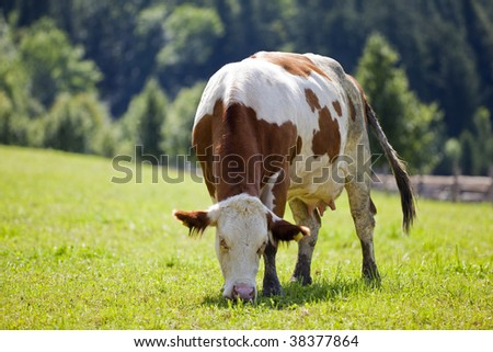 Cow grazing on farm - stock photo