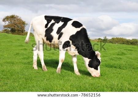 Cow Grazing on Farmland - stock photo