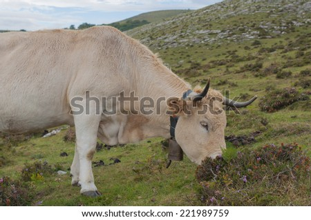 Cow grazing on mountain pastures