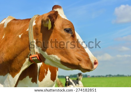 cow head in close up outside - stock photo