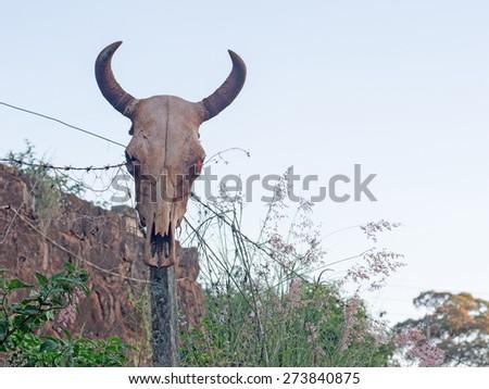 cow head skeleton - stock photo