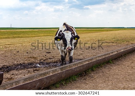 Cow, heifer is standing by a water metal trough in the summer meadow. At the water trough