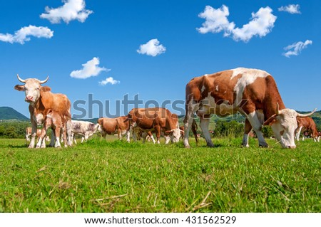 Cow herd in a field on a bright sunny day