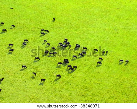 Cow herd on green field. View from above. - stock photo