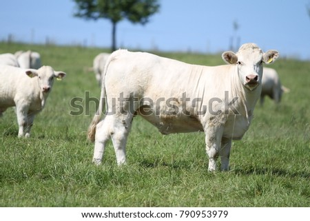 cow herd portrait on a meadow