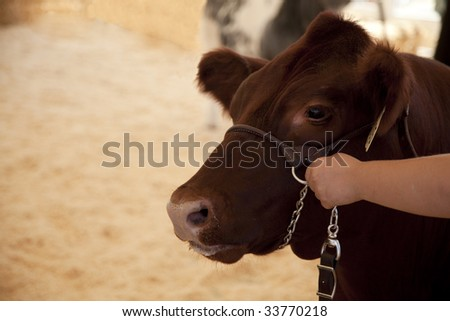Cow Hold