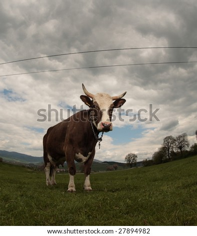 Cow (image intentionally distorted by the use of fisheye lens) - stock photo