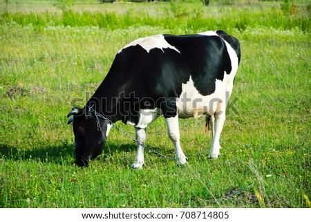 Cow in a field on green grass
