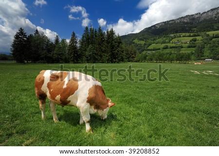 Cow in a grass field near Bad Mitterndorf, Austrian Alps - stock photo