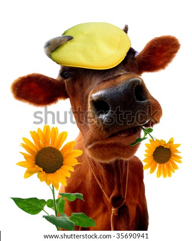 Cow in a peak-cap - stock photo
