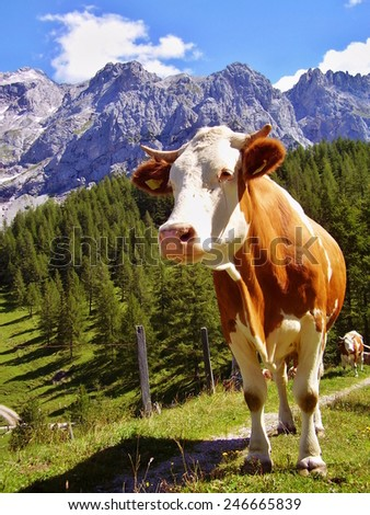 cow in alps in nice summer weather - stock photo