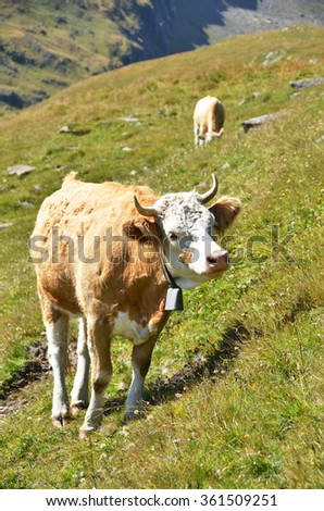 Cow in an Alpine meadow. Jungfrau region, Switzerland - stock photo