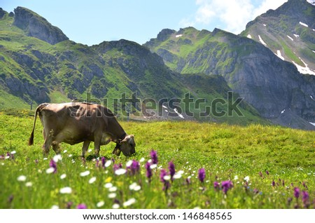 Cow in an Alpine meadow. Melchsee-Frutt, Switzerland - stock photo