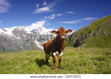 Cow in Austrian Alps - stock photo