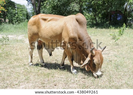 cow in country side. - stock photo
