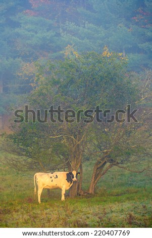 Cow in early morning fog, Stowe, Vermont, USA - stock photo