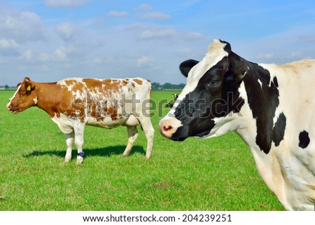 cow in field - stock photo