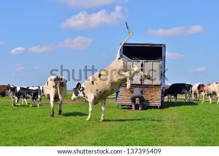 cow in field after transport - stock photo