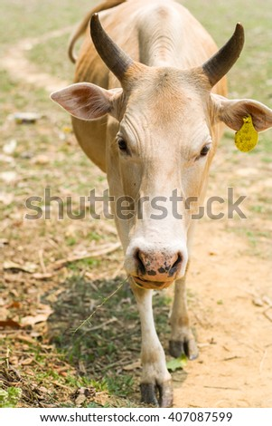 Cow in field at noon from Laos