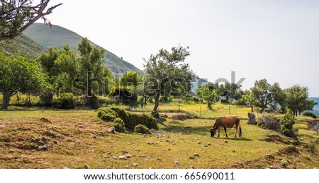 Cow in field grazing. Beautiful landscape with grass, flowers, trees, mountains and blue sky.