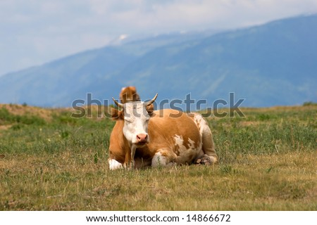 cow in lying on the pasture - stock photo