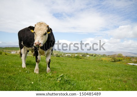 Cow in meadow - stock photo