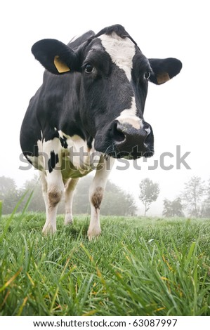 cow in meadow with white background - stock photo