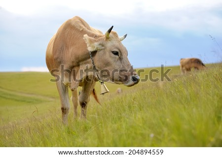 Cow in nature - stock photo