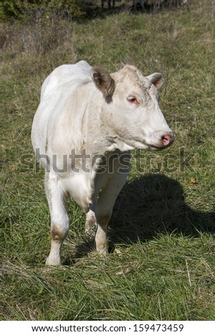 Cow In Pasture - stock photo