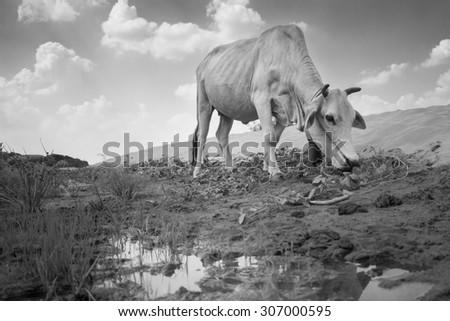 Cow in Sam Phan Bok Grand Canyon Thailand - stock photo