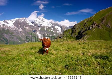 Cow in The Alps, Austria - stock photo