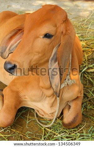 cow in the farm - ox - stock photo
