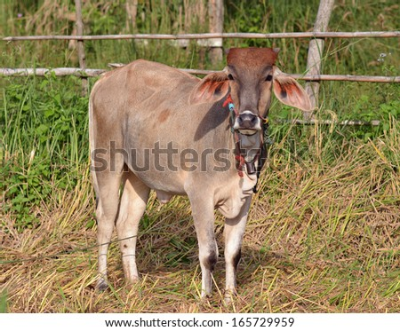 Cow in the field - stock photo