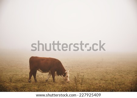 Cow in the fog - stock photo