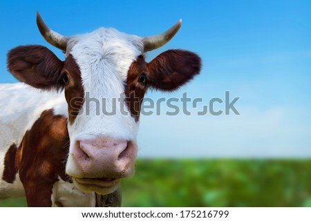cow in the green field - stock photo