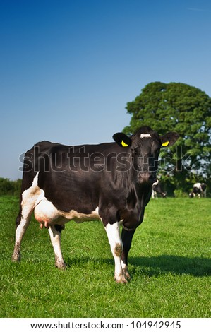 Cow in the meadow of black and white Frisian breed - stock photo